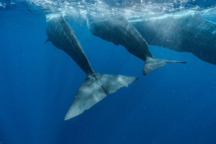Digit (links) schwimmt zusammen mit dem Kalb Corkscrew und dessen Mutter Canopener. Das ausgewachsene Weibchen spielt ...