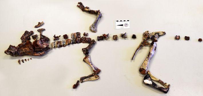 Das Skelett dieses Dynamosuchus collisensi wurde in der Nähe von Porto Alegre in Brasilien gefunden.