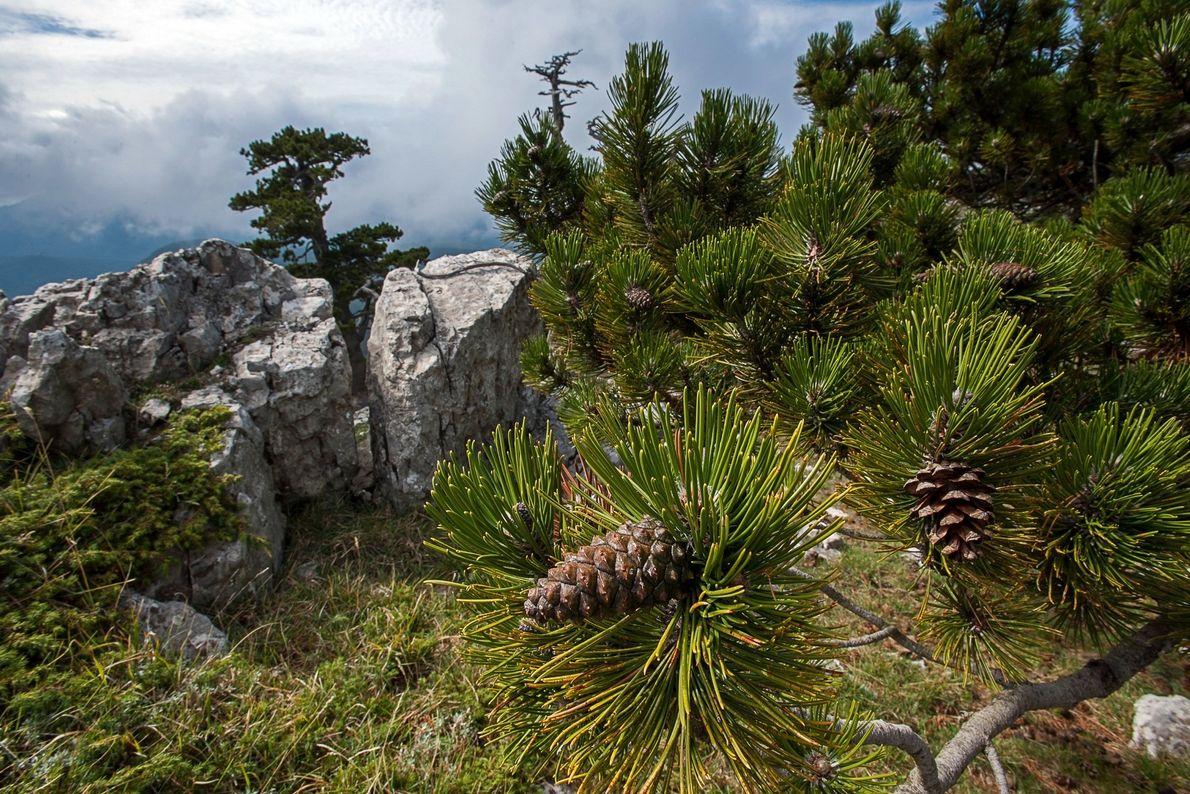 In dem Nationalpark wachsen zahlreiche Schlangenhaut-Kiefern. Koniferen zählen zu den langlebigsten Bäumen der Welt.