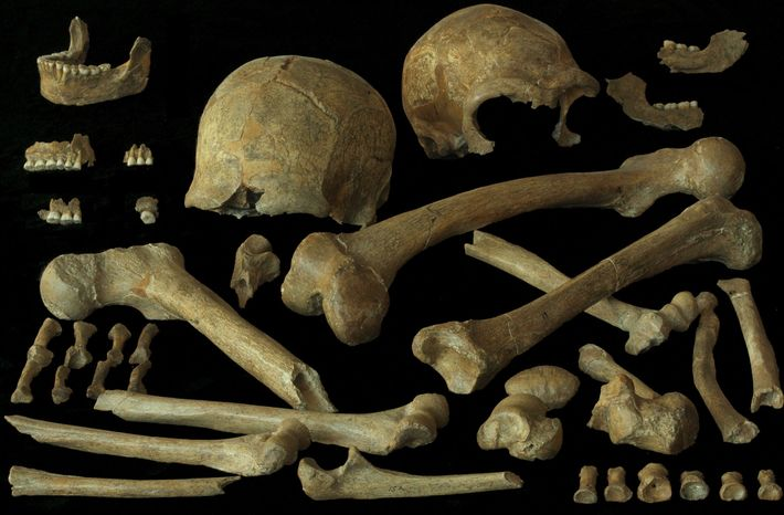 Skelettreste eines belgischen Neandertalers.