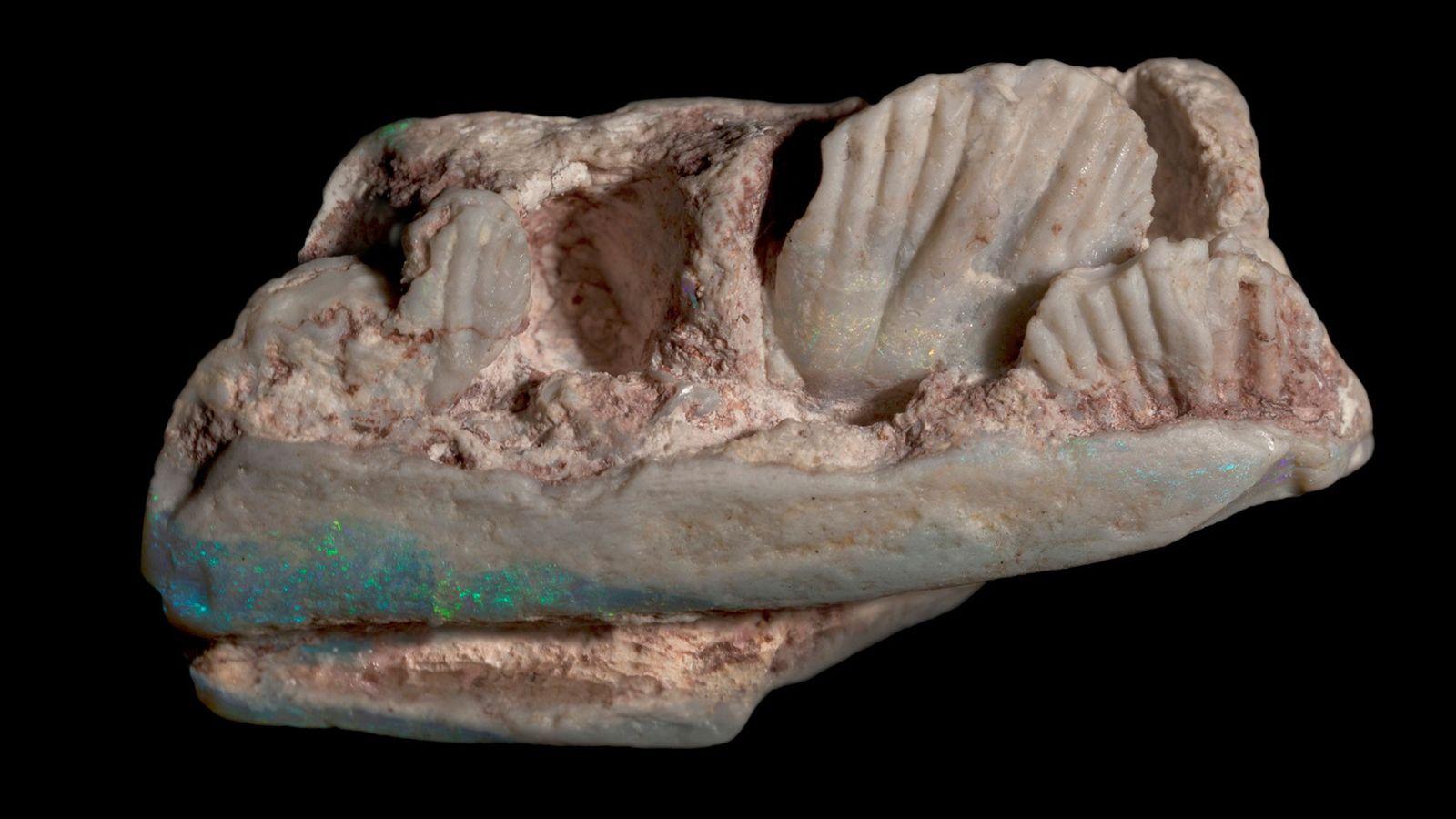 Der rechte Unterkiefer des Weewarrasaurus schillert durch den Opal im Fossil.