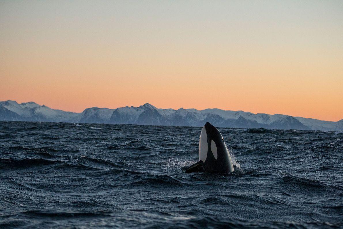 Im norwegischen Andfjord steckt sein Orca seinen Kopf aus dem Wasser.