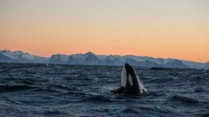 Galerie: So wild wie die See - das Leben der Orcas
