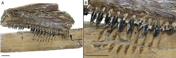 Das Bild zeigt den Flügelknochen des Pteranodon zusammen mit den versteinerten Kieferknochen des alten Knochenfischs Saurodon ...