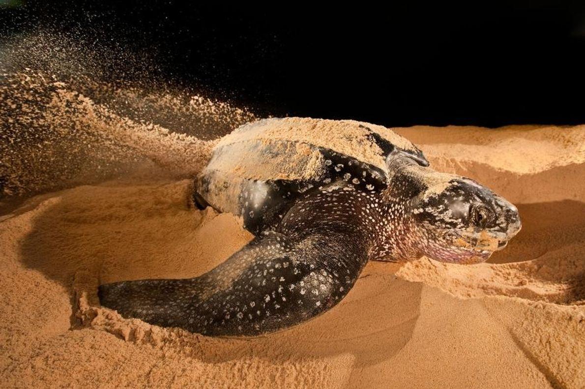 Eine Lederschildkröte (Dermochelys coriacea) legt an einem Strand in Ada Foah in Ghana ihre Eier ab.