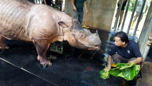 Wie Social Media eines der letzten Sumatra-Nashörner gerettet hat
