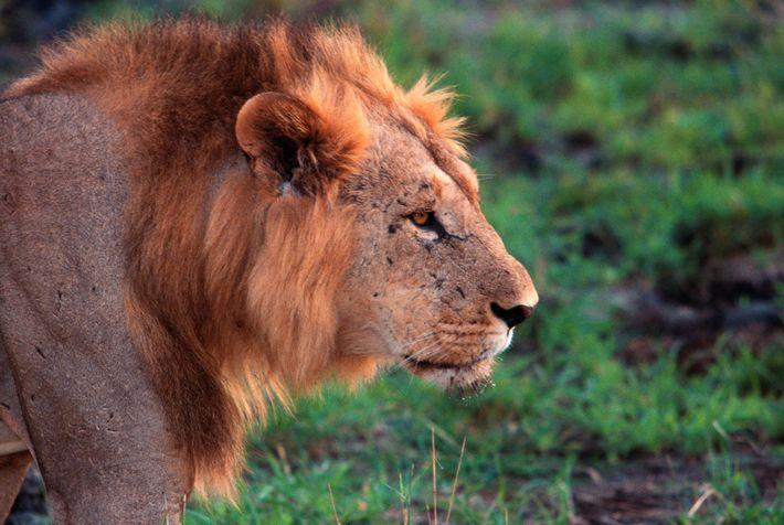 Ein Löwe streift durch Tsavo, Kenia