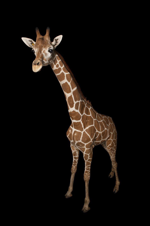 Giraffen haben hellbraune Haut, die farblich ihrem Fell ähnelt.