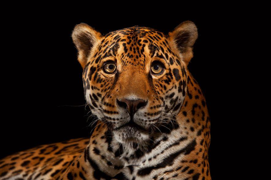 Der von den Azteken und Maya als Gottheit verehrte Jaguar (Panthera onca) ist das stärkste Raubtier …