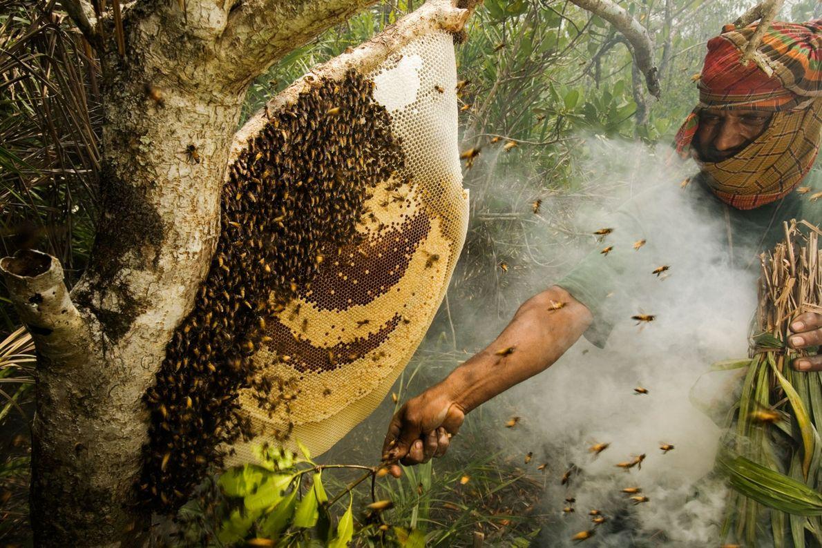 Um die Honigwaben mit dem Buschmesser vom Baum schneiden zu können, beruhigt ein Honigjäger in Bangladesch ...