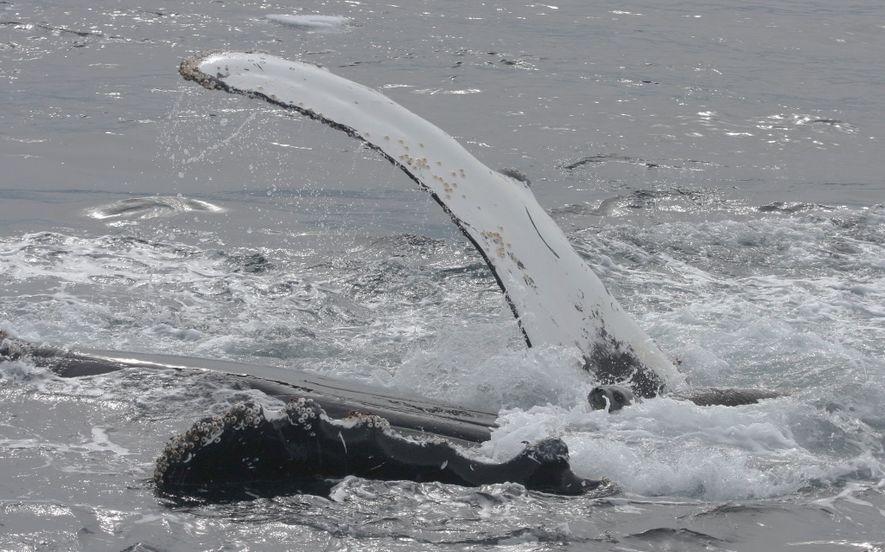 Eine Weddellrobbe ruht sich auf der Brust eines Buckelwals aus. Dort ist sie für den Moment ...