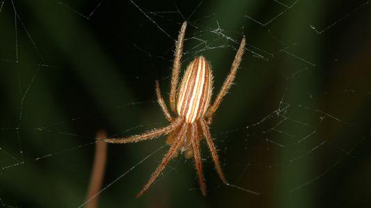 Diese Spinne zerstört weibliche Geschlechtsorgane, um zukünftige Paarungsakte zu verhindern