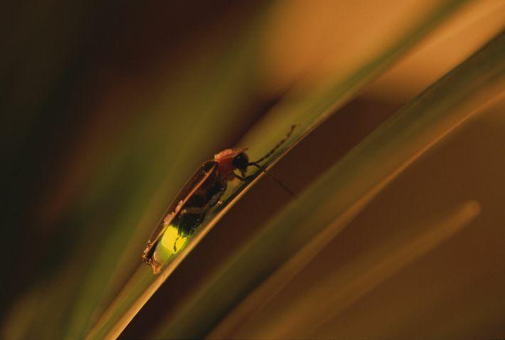 Im Englischen werden Glühwürmchen Fireflies (Feuerfliegen) oder lightning bugs (Blitzkäfer) genannt.