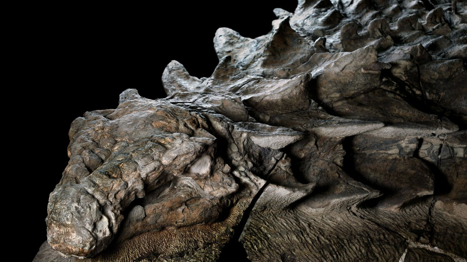Kopf des Nodosaurus