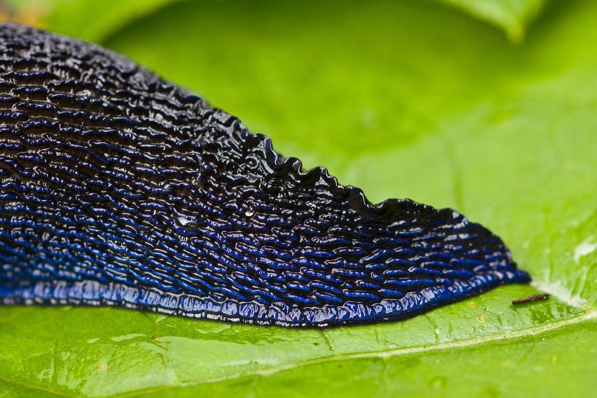 Schwanz eines Blauschnegels