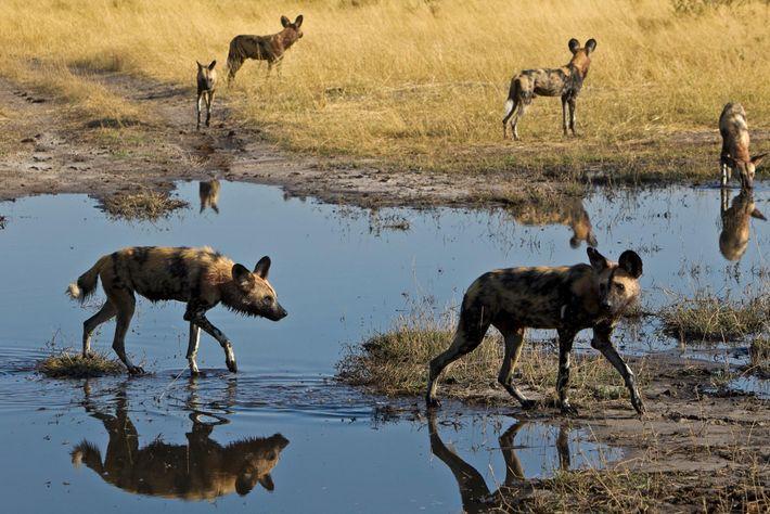 Die Studie zum Niesverhalten lässt vermuten, dass Rudel Afrikanischer Wildhunde nicht so autokratisch sind, wie man ...