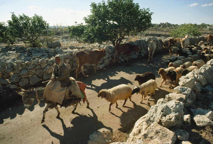 Ein Mann, der auf einem Esel reitet, führt eine Schafherde eine Straße in Syrien entlang.