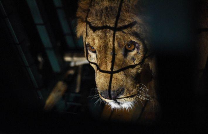 Sayeed ist einer von fünf Löwen, die aus Magic World gerettet wurden, wo einst rund 300 ...