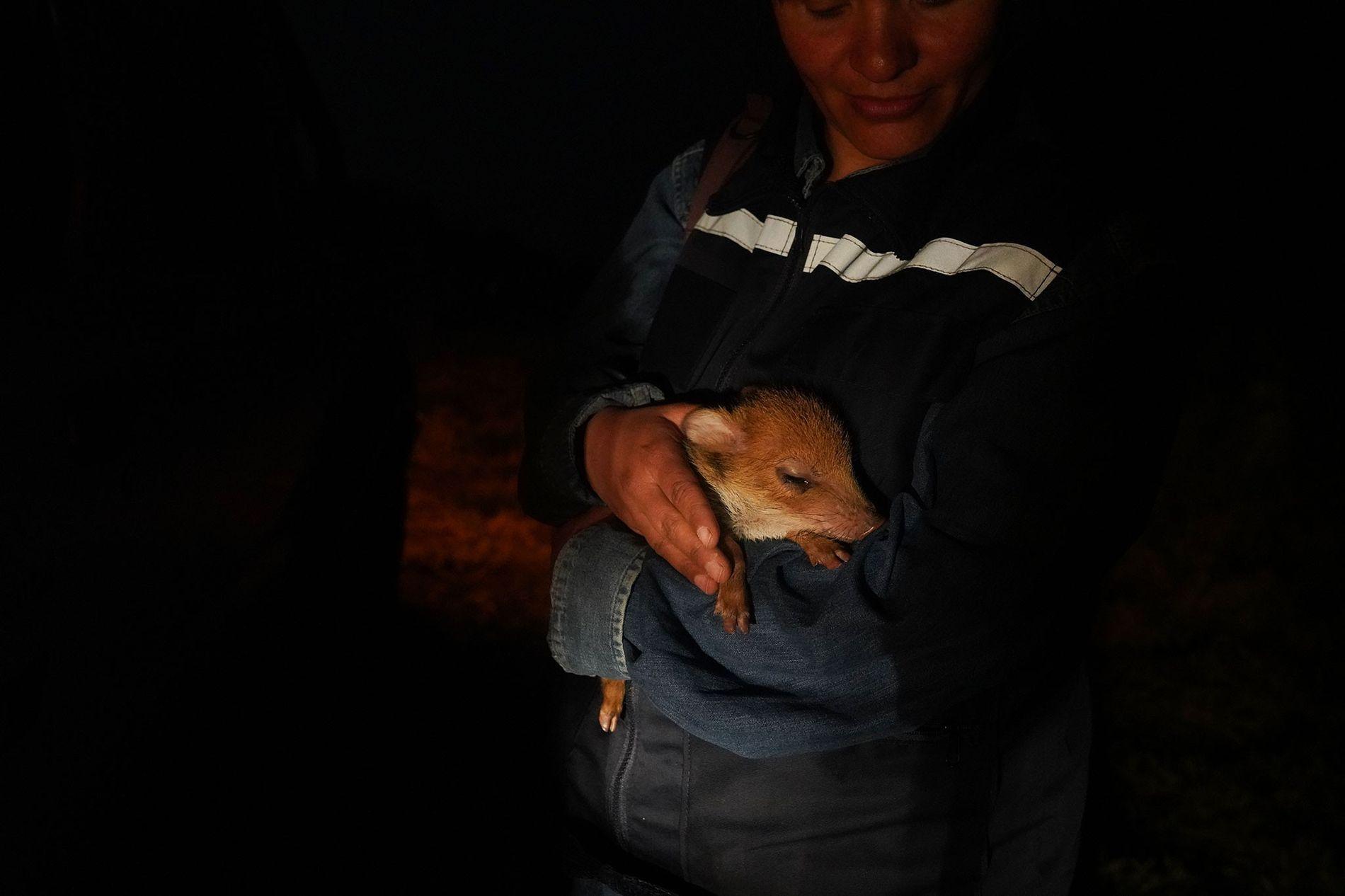 Die Tierärztin Fabiola Suárez hält im Rettungszentrum in Aguas Calientes ein verwaistes Pekariferkel auf dem Arm. ...