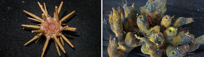 Amazonasriff entdeckt, Koralle
