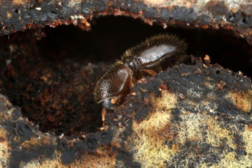 Ein weiblicher Kleiner Holzbohrer bohrt einen Gang in das künstliche Substrat.
