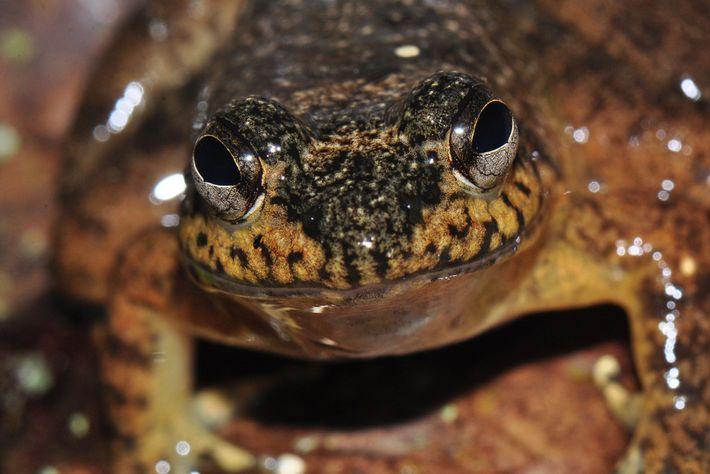 Die Froschart Mantidactylus grandidieri ist eine von vielen, die auf Madagaskar heimisch sind. Bislang scheint Bd ...