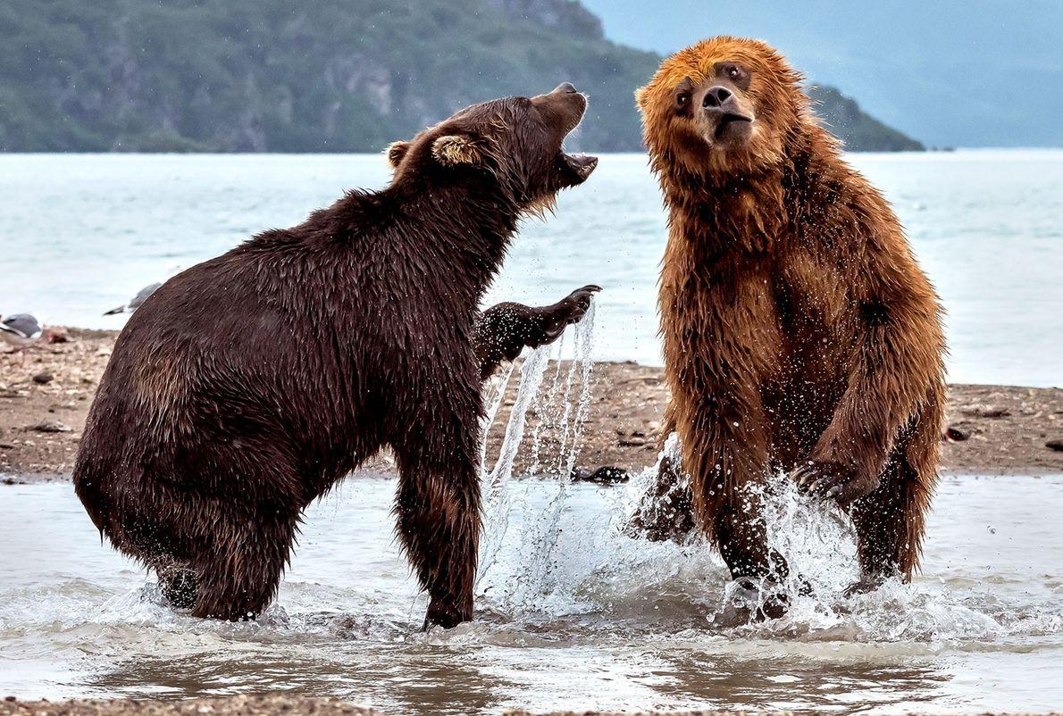 Zwei kämpfende Braunbären