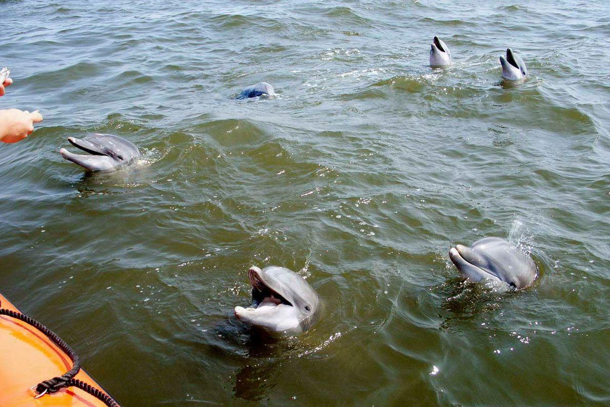 Diese Delfine, die in Gefangenschaft aufgezogen wurden, wurden während des Hurrikans Katrina ins offene Meer gespült. ...