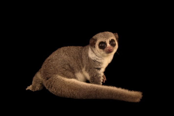 Ein Westlicher Fettschwanzmaki mit seinem charakteristischen Schwanz im Duke Lemur Center.