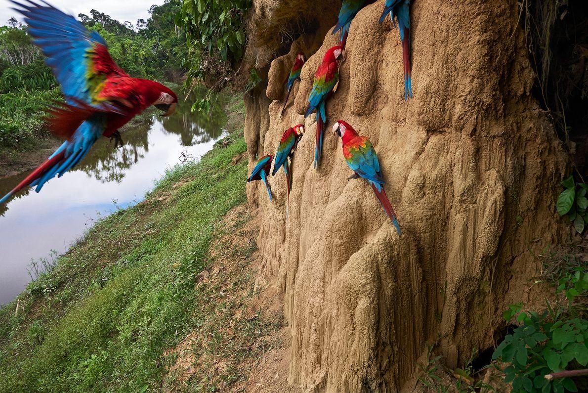 Grünflügelaras zieht es zu den Lehmklippen im peruanischen Manu, wo sie sich an dem mineralreichen Lehm ...
