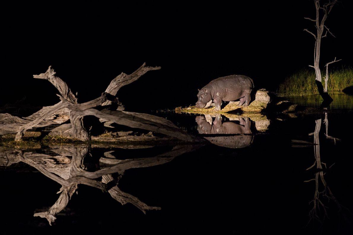 Ein Flusspferd frisst im Moremi Preserve nahe des Okavangodeltas in Botswana an Land.