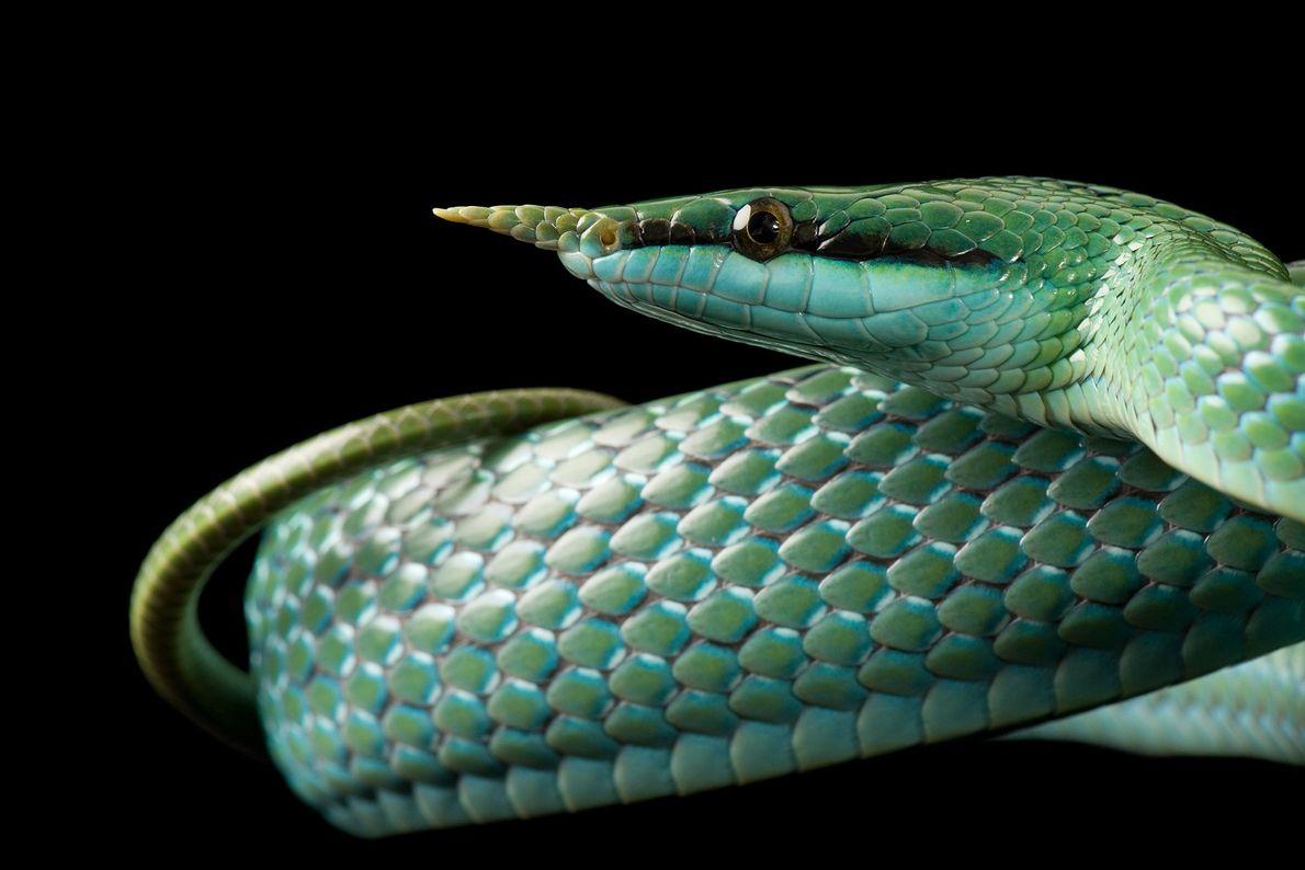 Die treffend benannte Spitznasennatter (Rhynchophis boulengeri) trägt am Ende ihrer Schnauze einen Fortsatz, der an das ...