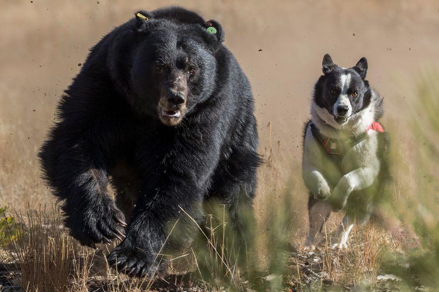 """Dazzle verfolgt einen Schwarzbären in Lake Tahoe. Bei solchen Einsätzen lernen Bären, Menschen und Hunde zu fürchten. Das verringert die Chance, dass sie später zu """"Problembären"""" werden."""