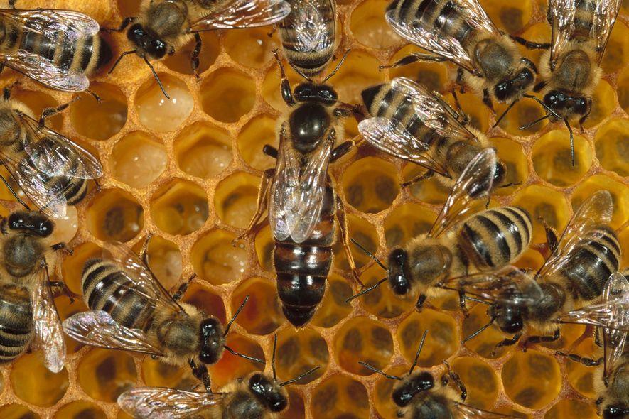 Diese Westliche Honigbiene (Apis mellifera) legt täglich bis zu 2.000 Eier. Die Weibchen – zum Beispiel ...
