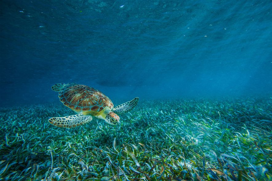 Eine Meeresschildkröte im Hol Chan Marine Reserve schwimmt über eine Seegraswiese hinweg.
