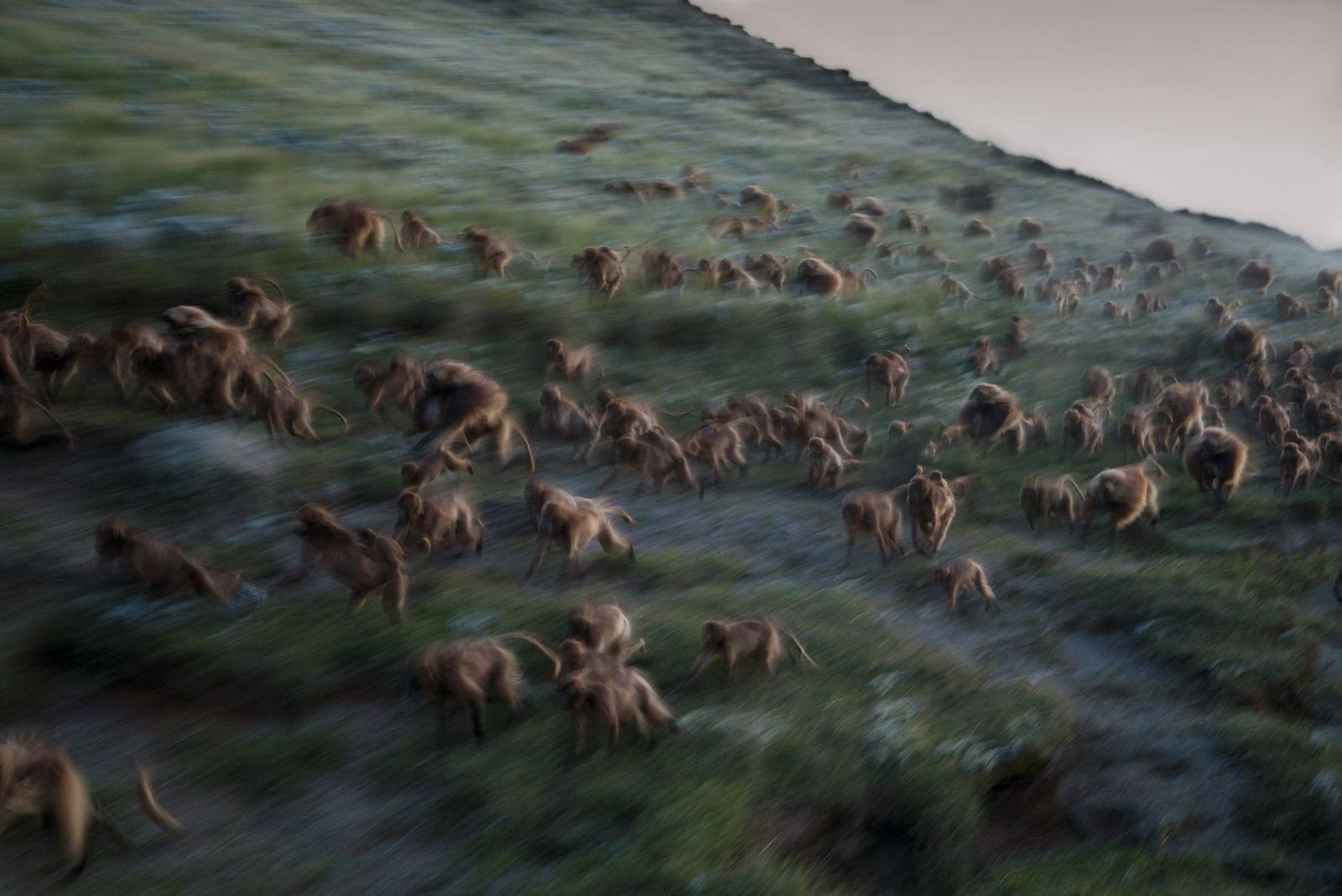 Wenn sich die Dunkelheit über Guassa senkt, rennen die Dscheladas den Hügel hinunter zu ihrer Schlafklippe. ...