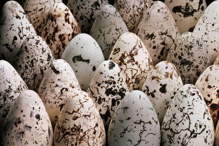Eier der Trottellumme