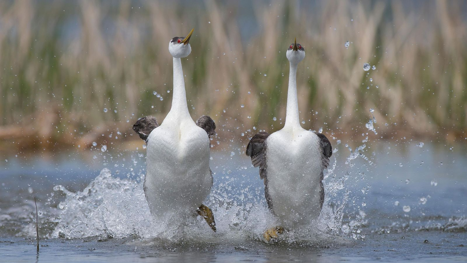 Renntaucher laufen bei ihrem Balzritual auf dem Wasser.