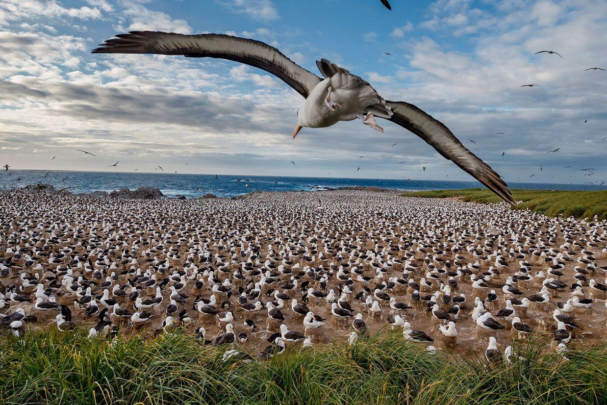 Schwarzbrauenalbatrosse. Falkland-Inseln