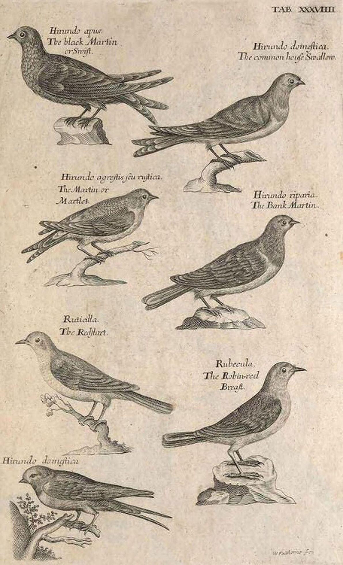 """Das sind einige Skizzen von Willughbys """"Ornithology"""": eine Schwalbe, ein Schnäpperwaldsänger und ein Rotkehlchen, 1678."""