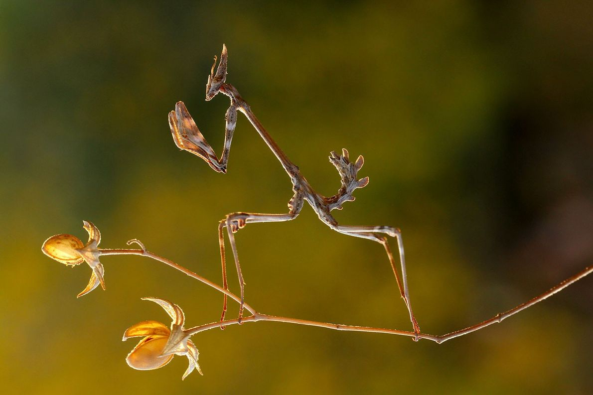 Haubenfangschrecke. Kahramanmaras, Türkei.
