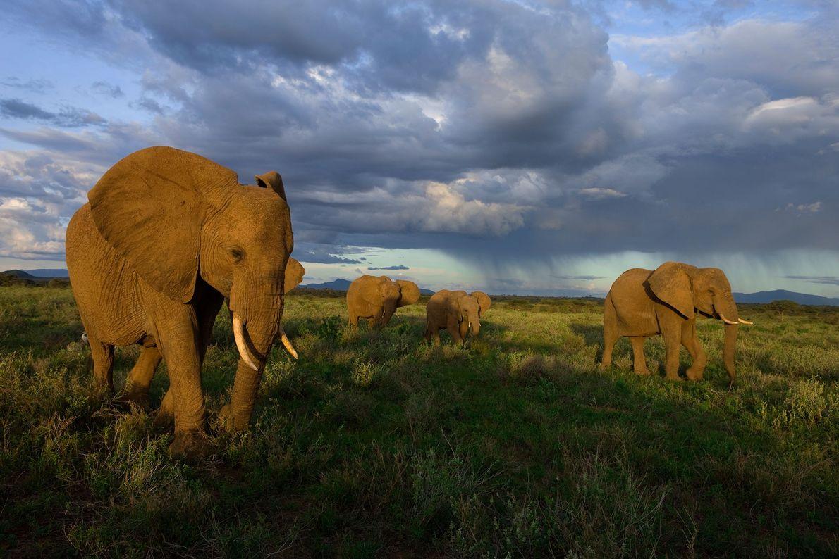 Eine Elefantenherde im Samburu-Nationalpark in Kenia.