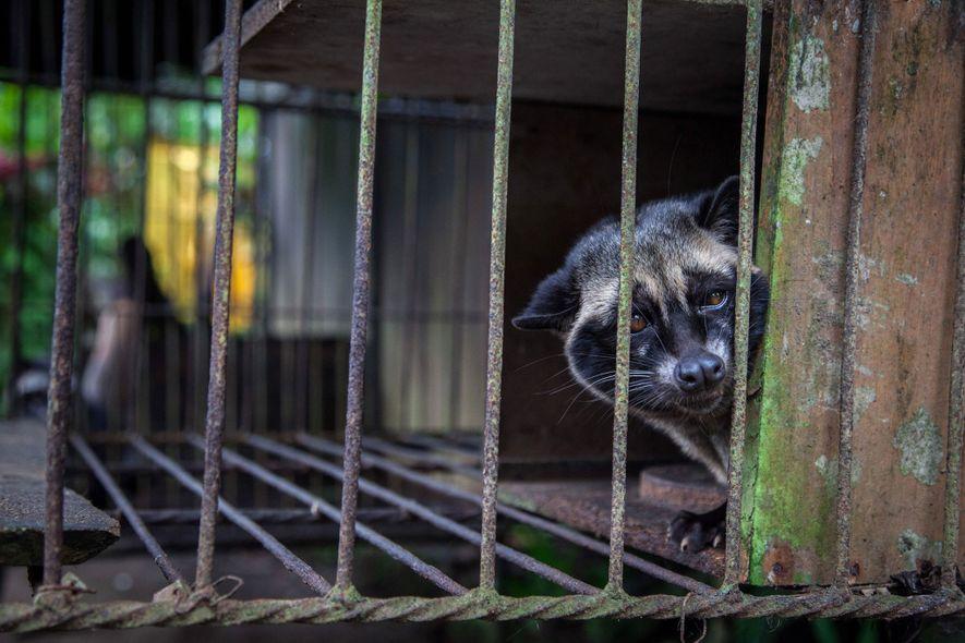 Eine Schleichkatze – vermutlich ein eingefangenes Exemplar – blickt aus ihrem Gitterkäfig. Das Tier wird zur ...
