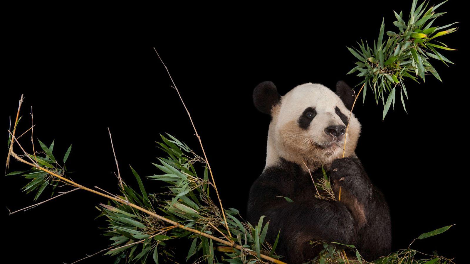 Ein Großer Panda