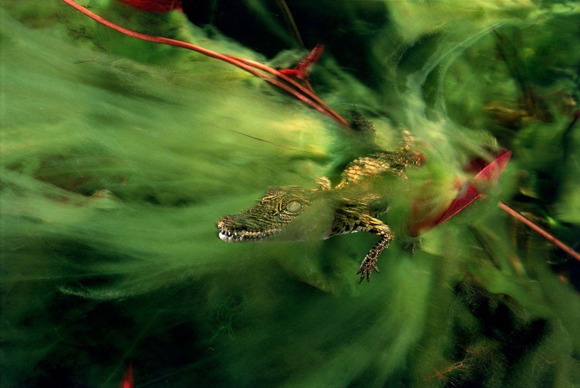 Ein Baby-Nilkrokodil versteckt sich im Ncamasere-Kanal im Okavangodelta zwischen den Algen.