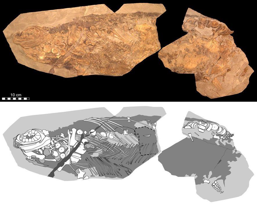 Ein Foto (oben) und eine schematische Darstellung (unten) zeigen den Stenopterygius, der im Rahmen der Studie ...