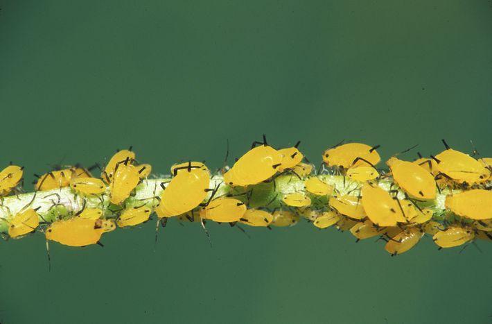 Oleanderblattlaus