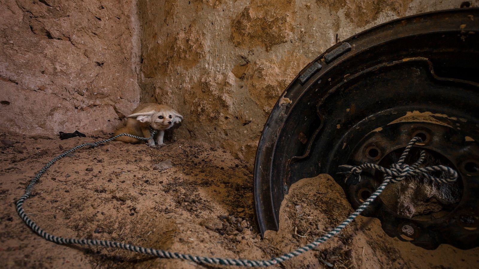 Dieser ausgewachsene Fennek wurde in der Wildnis eingefangen und wird in Tunesien in einem Ziegenstall gehalten.