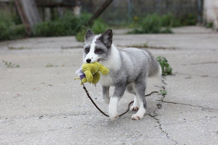 Bei der experimentellen Fuchszucht in Russland entstanden zahme Tiere. Der Vorgang sollte den Prozess der Domestizierung ...