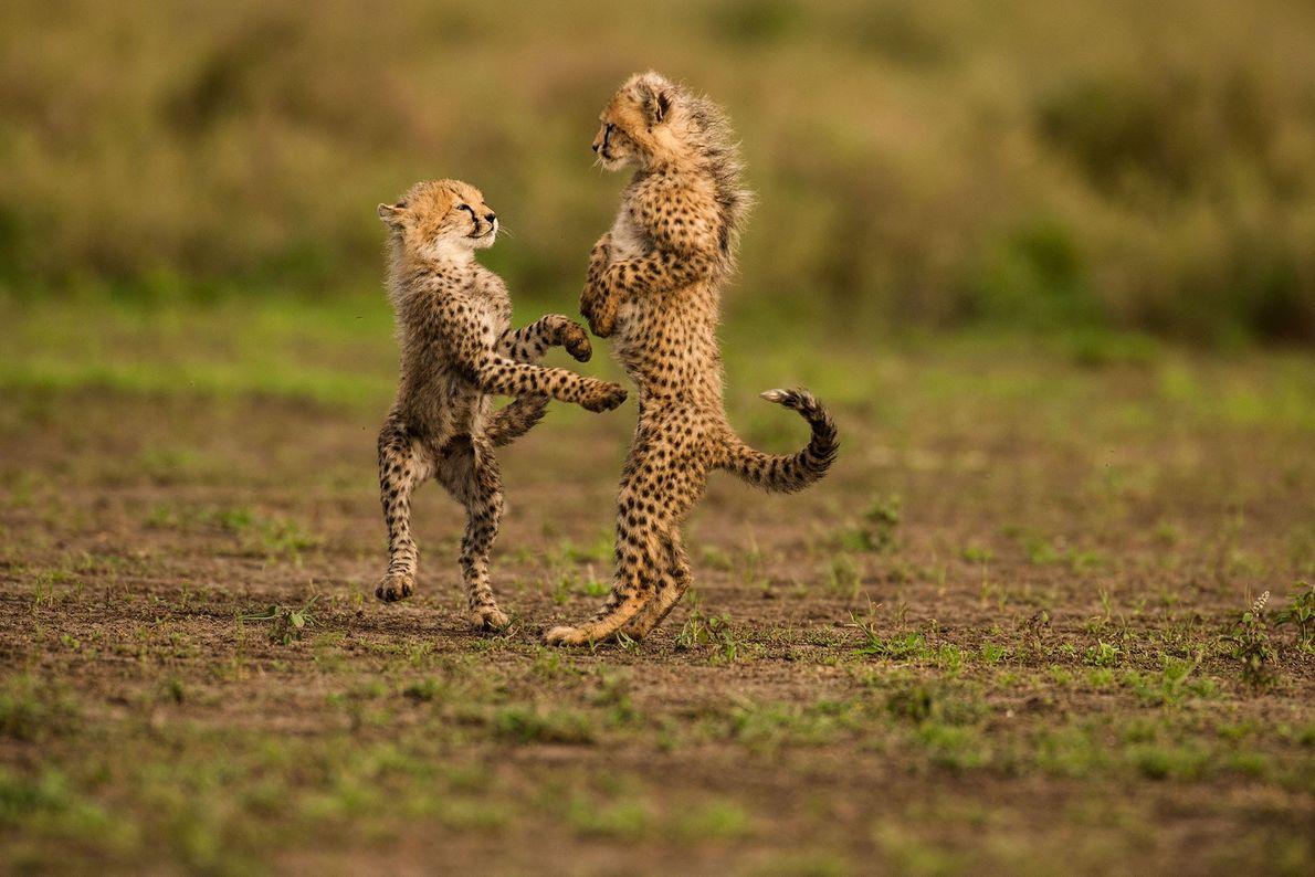 Zwei junge Geparden spielen im Serengeti-Nationalpark in Tansania.